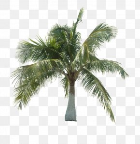 A Coconut Tree - Asian Palmyra Palm Coconut Tree Arecaceae PNG