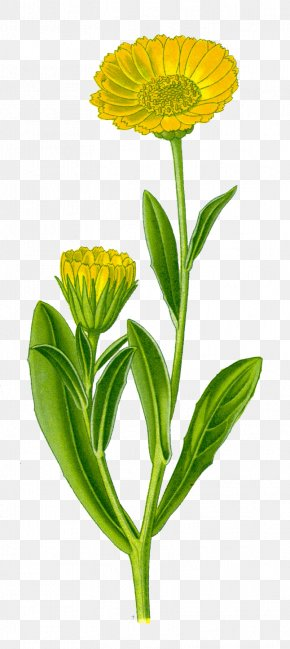 Flower - Calendula Officinalis Flower Plant Great Mullein PNG