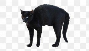 Black Cat - Bombay Cat Korat Whiskers Black Cat Domestic Short-haired Cat PNG
