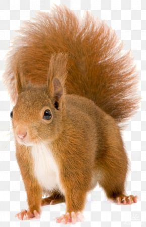 Squirrel - Red Squirrel Tree Squirrels Rodent Eastern Gray Squirrel Chipmunk PNG