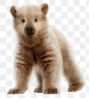 Brown Bear - Polar Bear Brown Bear Pizzly Grizzly Bear PNG