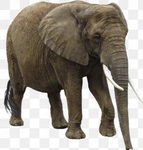 Elephant - Elephant Clip Art PNG