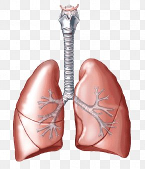Lungs Transparent Images - Lung Carbon Dioxide Breathing Respiratory System Human Body PNG