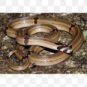 Snake - Boa Constrictor Garter Snake Kingsnakes Terrestrial Animal PNG