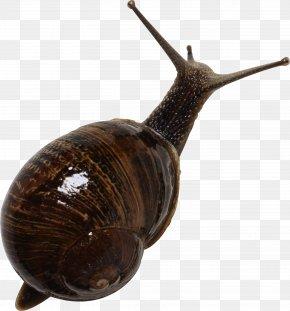 Snail - Emerald Green Snail Gastropods Seashell PNG