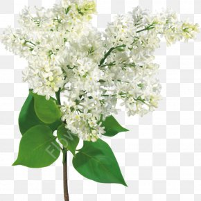 Lilac - Common Lilac Flower Bouquet PNG