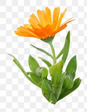 Orange - Calendula Officinalis Orange Flower Clip Art PNG