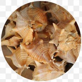 Seashell - Cockle Sea Snail Shellfish Restaurante Senhor Peixe Seashell PNG