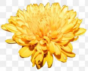 Chrysanthemum Free Download - Chrysanthemum Flower Clip Art PNG