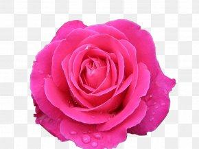 Rose - Garden Roses Centifolia Roses Beach Rose Rosa Chinensis Rosa Multiflora PNG