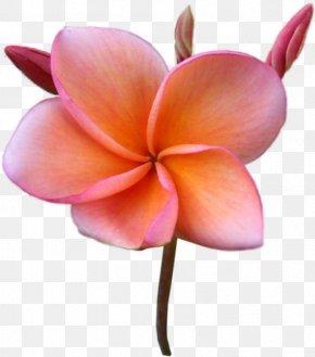 Flower - Flower Frangipani Stock Photography Clip Art PNG