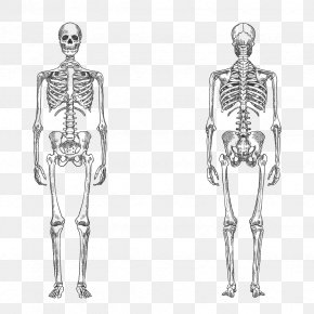 Vector Human Skeleton - Human Skeleton Bone Human Body Anatomy PNG