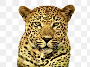 Cheetah - Cheetah Snow Leopard Felidae Cat Tiger PNG