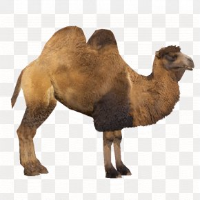 Camel - Bactrian Camel Zoo Tycoon 2 Dromedary PNG