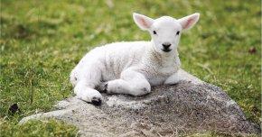 Lamb - Sheep Lamb And Mutton Desktop Wallpaper High-definition Video 1080p PNG