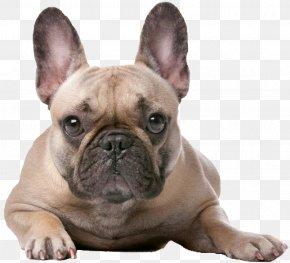 Bulldog - French Bulldog Boxer Old English Bulldog Jack Russell Terrier PNG