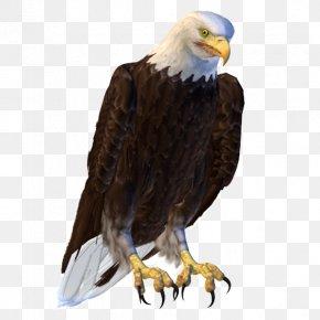 Eagle - Bald Eagle Bird Hawk PNG