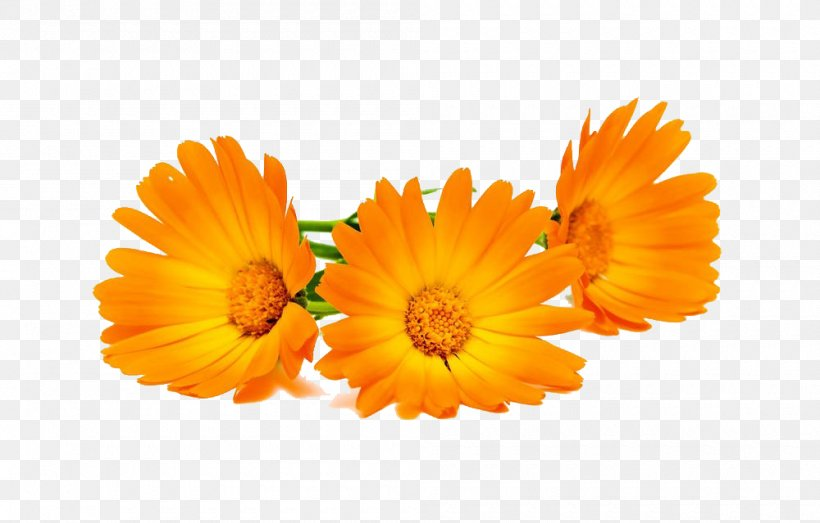 Calendula Officinalis Stock Photography Marigold, PNG, 1000x639px, Calendula Officinalis, Calendula, Daisy Family, Depositphotos, Flower Download Free