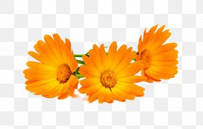 Three Marigold High-definition Pictures - Calendula Officinalis Stock Photography Marigold PNG