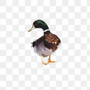 Duck - Duck Hunt American Pekin Mallard Cygnini PNG