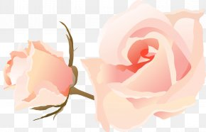 PPT - Garden Roses Cabbage Rose Microsoft PowerPoint Ppt PNG