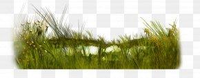 Green Grass - Microchloa Weeping Fig Green Flower Tree PNG