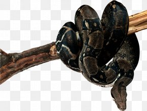 Serpiente - Snake Reptile Boa Constrictor Frog PNG