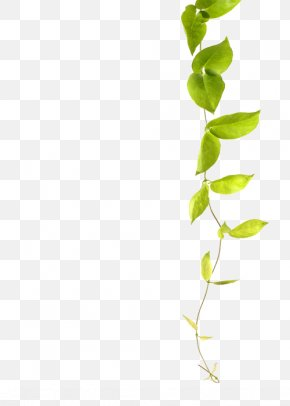 Green Leaf Vines - Green Vine Plant Common Ivy PNG