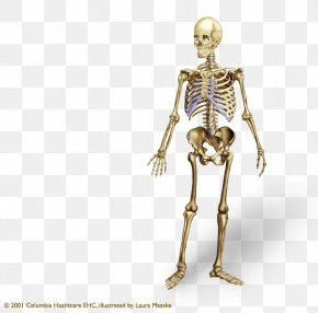 Skeleton - Human Skeleton Human Body Bone Anatomy Axial Skeleton PNG