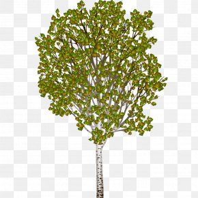 Puddle - Silver Birch Tree Woody Plant PNG