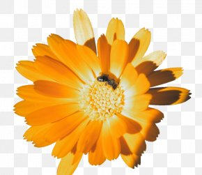 Orange - Orange Calendula Officinalis Flower Clip Art PNG