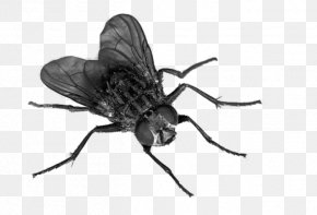Flies Transparent - Fly Insect Clip Art PNG