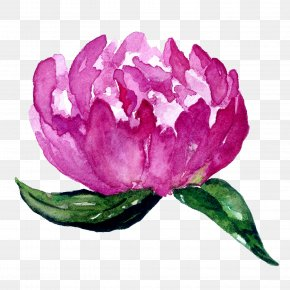 Peony - Flowering Plant Centifolia Roses Pink Purple PNG