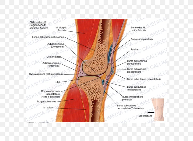 Knee Sagittal Plane Anatomy Coronal Plane, PNG ... on hinge joint, synovial joint, anterior cruciate ligament injury, knee osteoarthritis, medial meniscus, posterior cruciate ligament, knee pain, medial collateral ligament, sacroiliac joint, anterior cruciate ligament,