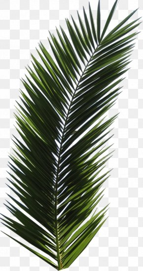 Leaf - Arecaceae Leaf Palm Branch Tree PNG