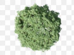 Tree Plan - Populus Nigra Tree Plan PNG