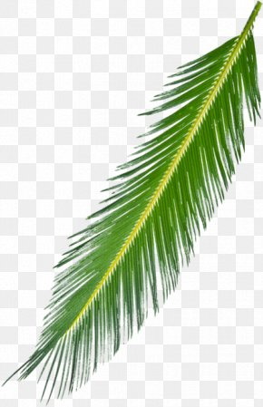Background Tree - Asian Palmyra Palm Arecaceae Palm Branch Leaf Subtropics PNG