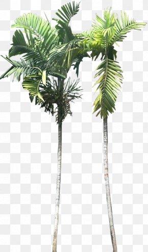 Plant - Asian Palmyra Palm Ptychosperma Macarthurii Babassu Plant Areca Palm PNG