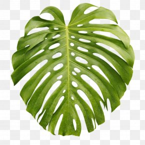 Leaf - Tropics Arecaceae Leaf Palm Branch PNG