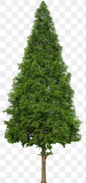 Trees - Evergreen Tree Douglas Fir PNG