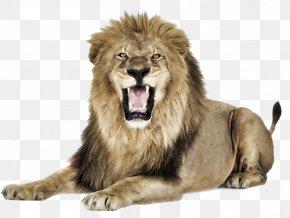 Tiger - Lionhead Rabbit East African Lion Felidae Tiger Roar PNG