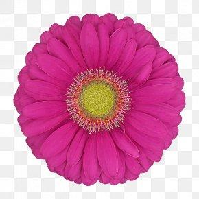 Daisy Family Cut Flowers - Barberton Daisy Gerbera Flower Pink Petal PNG