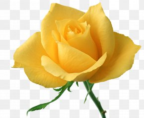 Yellow Rose - Flower Rose Yellow Stock Photography Clip Art PNG