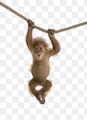 Monkey - Monkey Gray Langur PNG