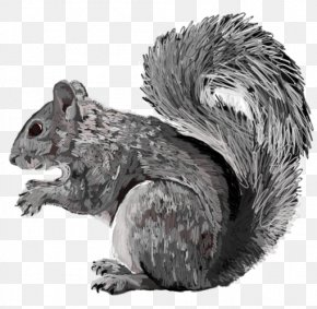 Eastern Gray Squirrel - Fox Squirrel Fur White Snout PNG