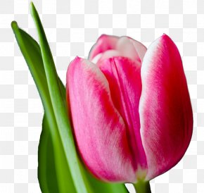 Tulip - Tulip Pink Flowers Wallpaper PNG