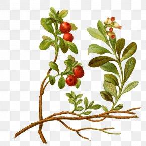 Cartoon Cherry Tree - Lingonberry Vaccinium Macrocarpon Cherry Tree Plant PNG