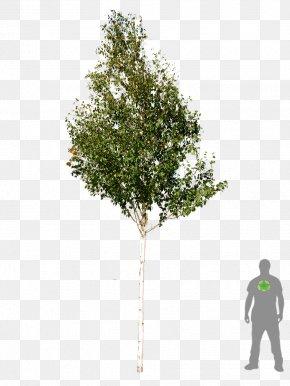 Tree Plan - Tree Woody Plant Betula Utilis Silver Birch PNG