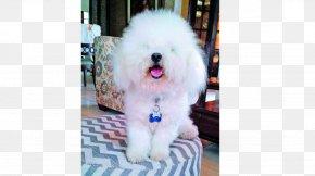 Puppy - Maltese Dog Bolognese Dog Havanese Dog Bichon Frise Coton De Tulear PNG