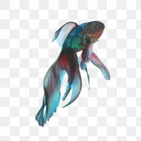 Color Fish - Fantail Black Telescope Koi Siamese Fighting Fish PNG